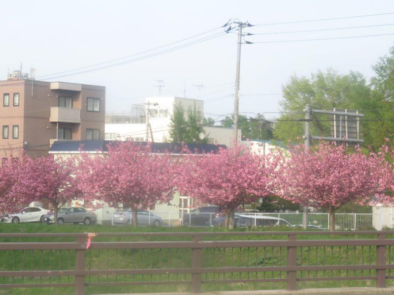 山桜が満開