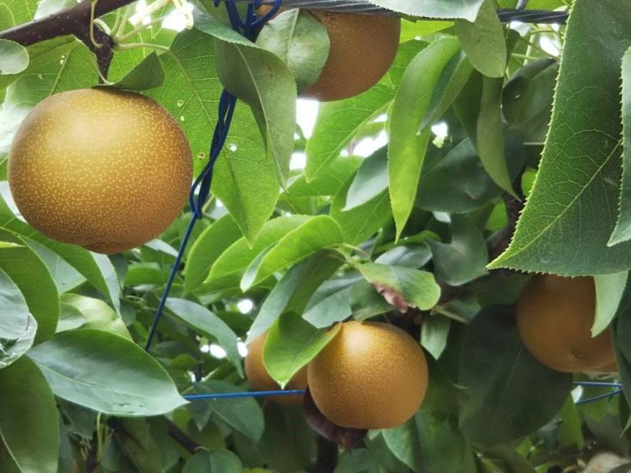 森のガーデン-梨の木