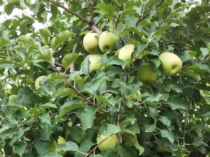 森のガーデン-りんごの木