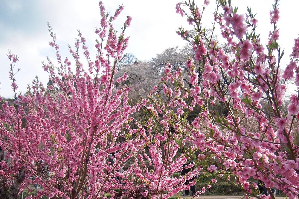 花見山の花~花桃