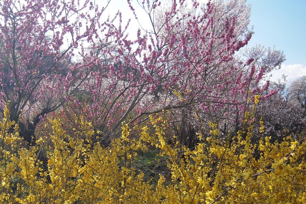 花見山の花~花桃とレンギョウのコントラスト