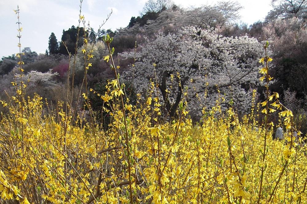 花見山の花~レンギョウ